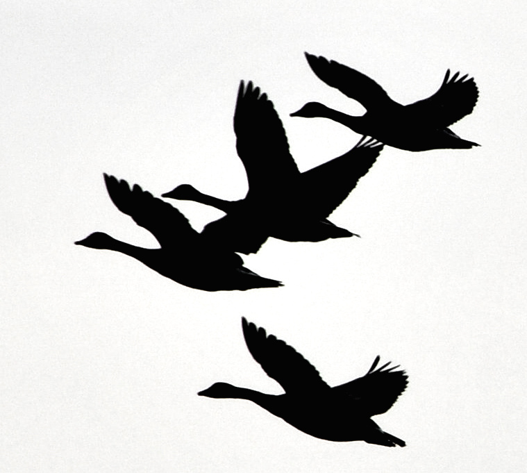 759x681 Geese Silhouettes Canada Geese Flying Over The Tred Avon