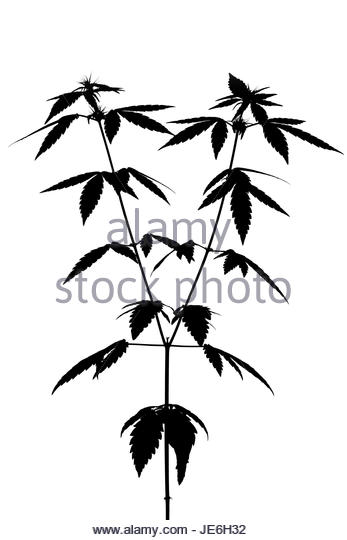 347x540 Cannabis Black And White Stock Photos Amp Images