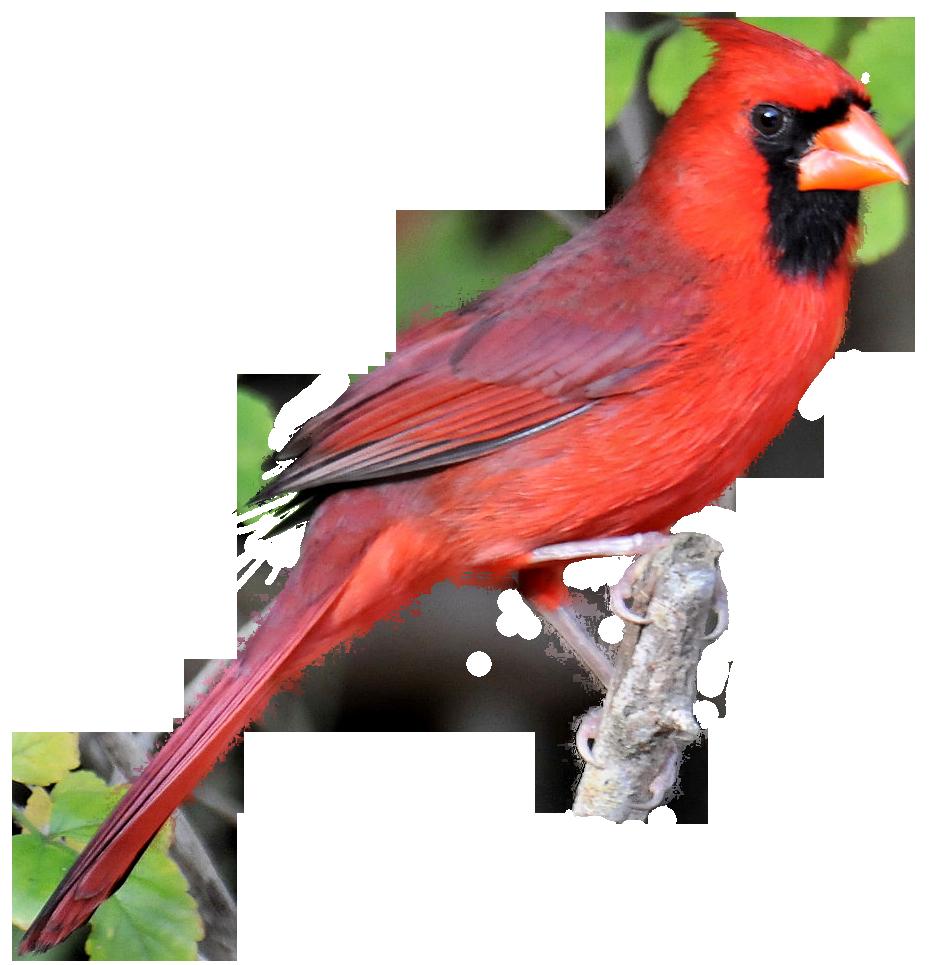Cardinal Bird Silhouette