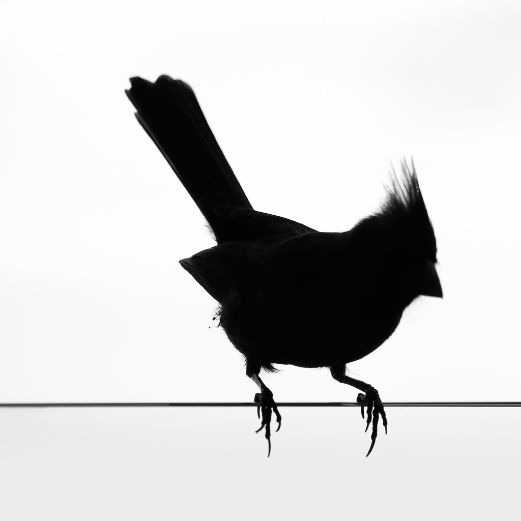 1024x1024 Cardinal Silhouette Silhouette Of A Northern Cardinal