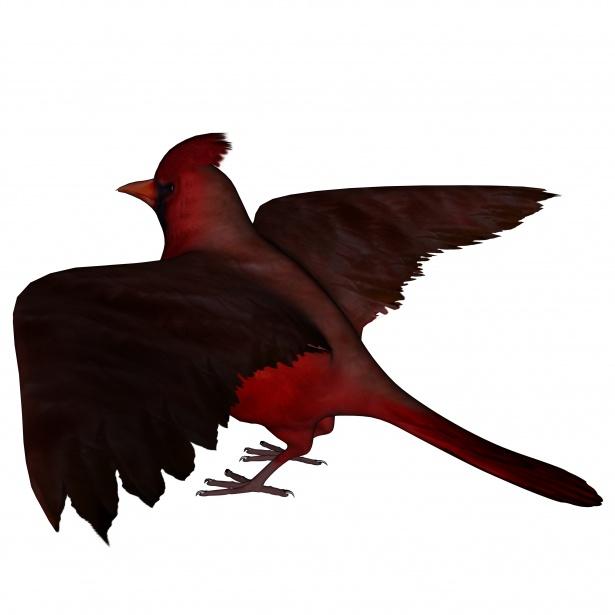 615x615 Cardinal Free Stock Photo
