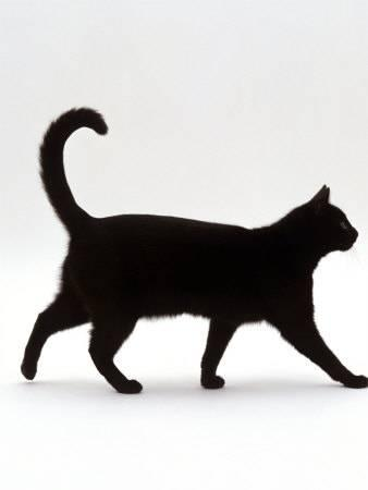 338x450 Domestic Cat, Black Short Hair Male, Walking Profile Photographic