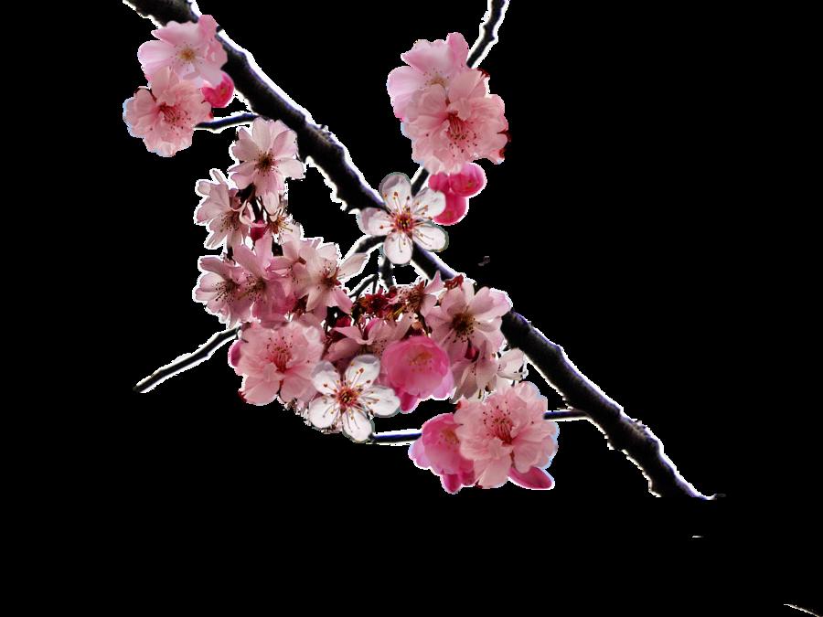 900x675 Cherry Blossom Clipart Cerry