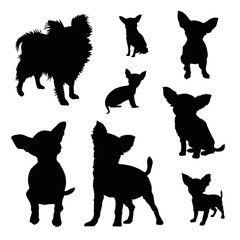 240x240 Chihuahua Photos, Royalty Free Images, Graphics, Vectors Amp Videos