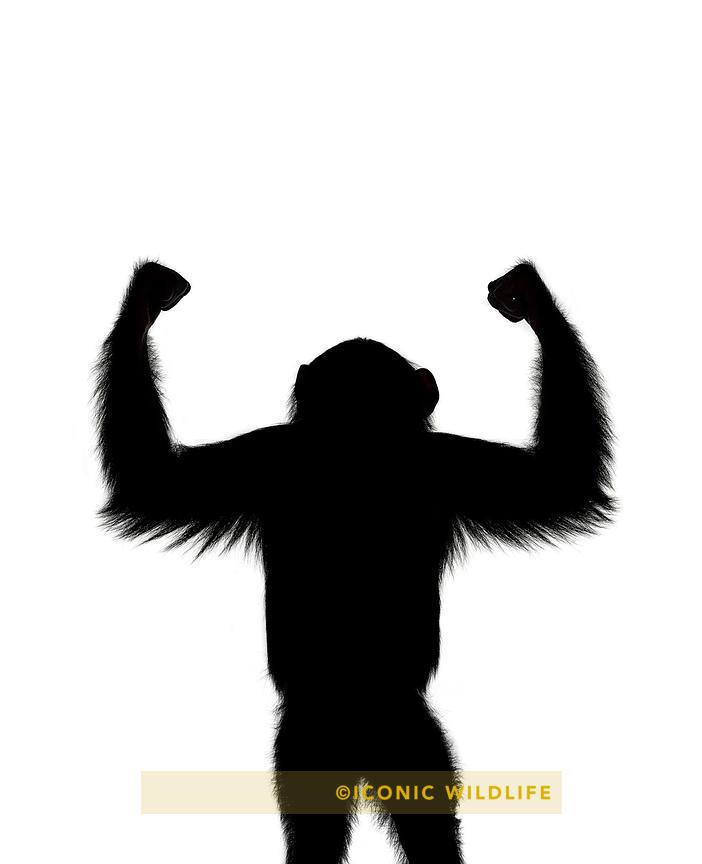 702x864 Iconic Wildlife Chimpanzee
