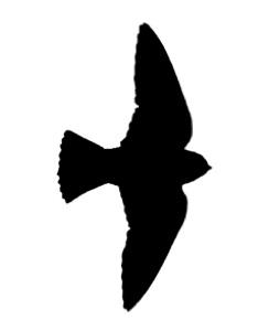 244x300 Cliff Swallow