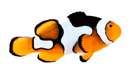 460x258 Something Fishy Aquarium Livestock Fish Ora Picasso