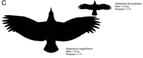 600x243 Condor Vs Eagle Size Comparison Thunderbirds (Ancient)