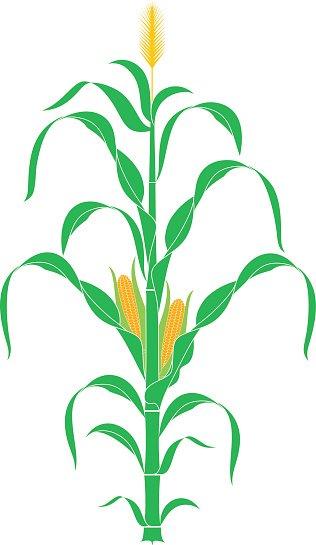 316x545 Corn Vector Premium Clipart