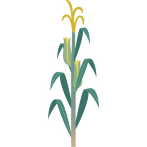300x300 Corn Stalk Images