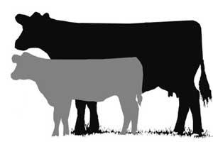 300x200 Show Cow Clipart