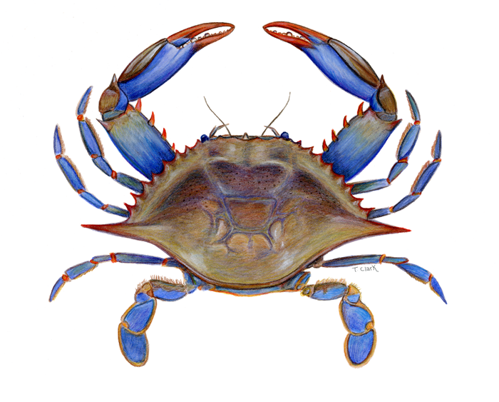 700x563 Maryland Blue Crab Clipart