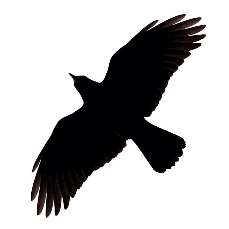 768x768 Pin By Kelle Martin On Crow Crows, Crow Silhouette