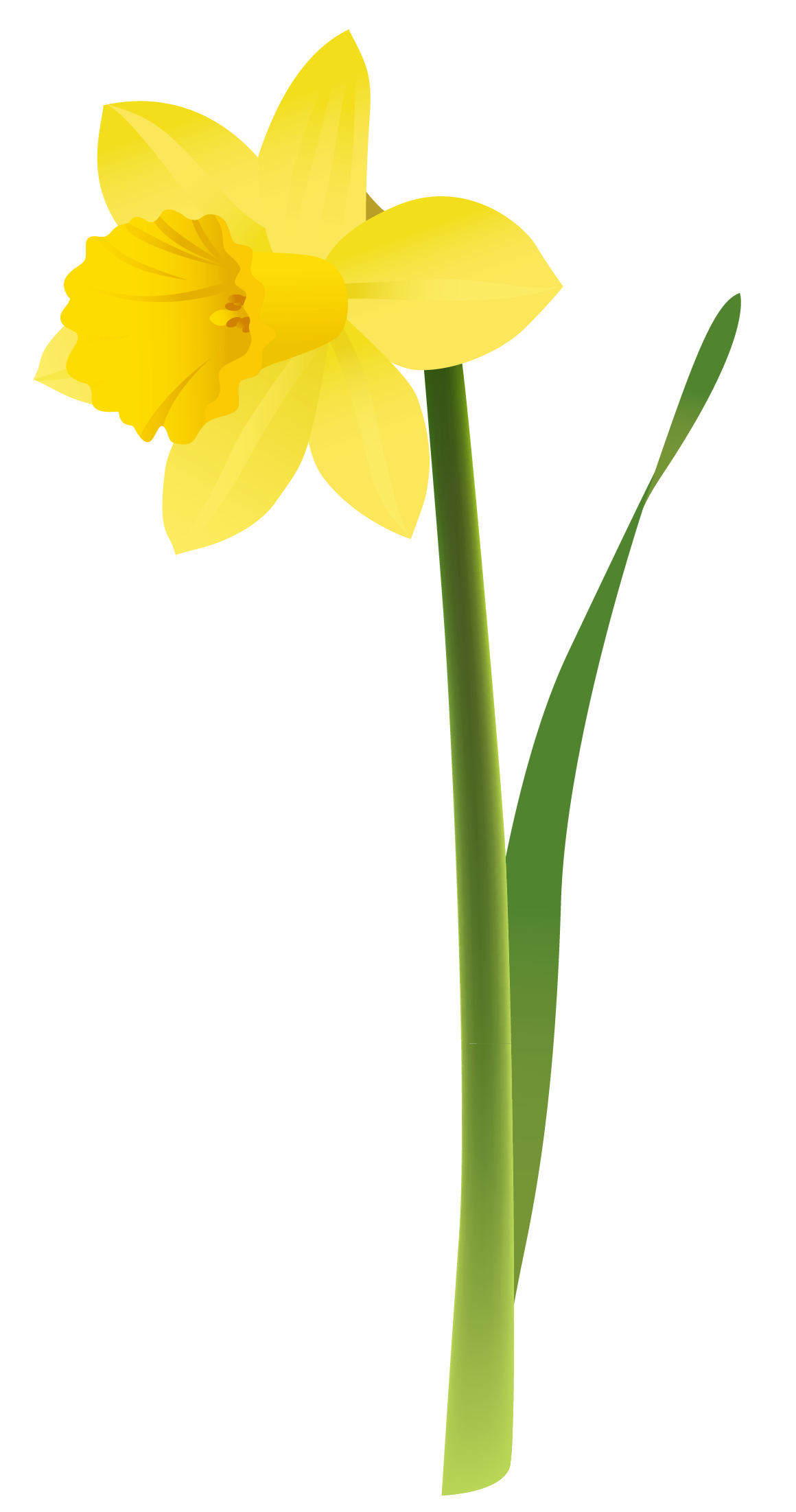 1160x2203 Spring Yellow Daffodil Png Clipartu200b Gallery Yopriceville
