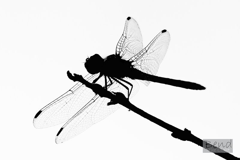 800x534 Dragonfly Silhouette Clipart Panda