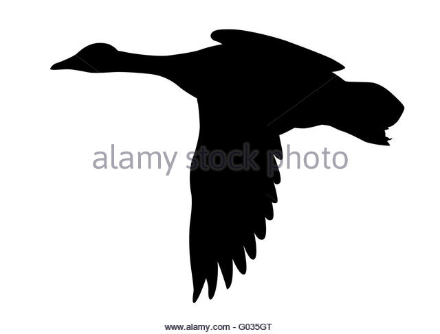 640x487 Ducks Flying Cut Out Stock Images Amp Pictures
