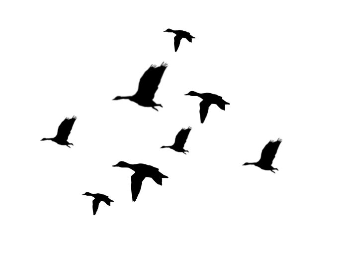 712x538 Good Looking Flying Duck Silhouette