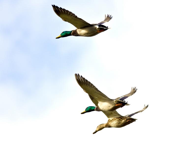 740x602 Quick Tips For Identifying Ducks In Flight Realtree