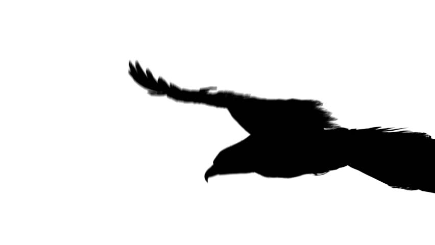 852x480 Flying Eagle In Black Isolated On White Background Stock Footage