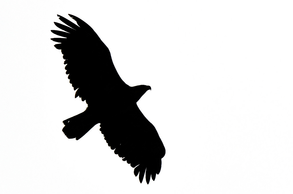 1024x680 Eagle Silhouette A Bald Eagle Flying Overhead On Kiska