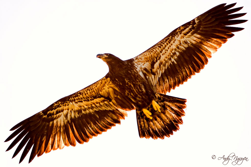 1024x683 The Golden Eagle This Eagle Silhouette Was Taken