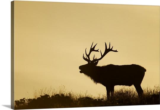 540x373 Tule Elk Dominant Bull Bugling During Rut