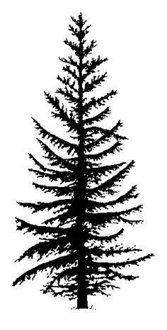 236x464 Evergreen Trees Drawing
