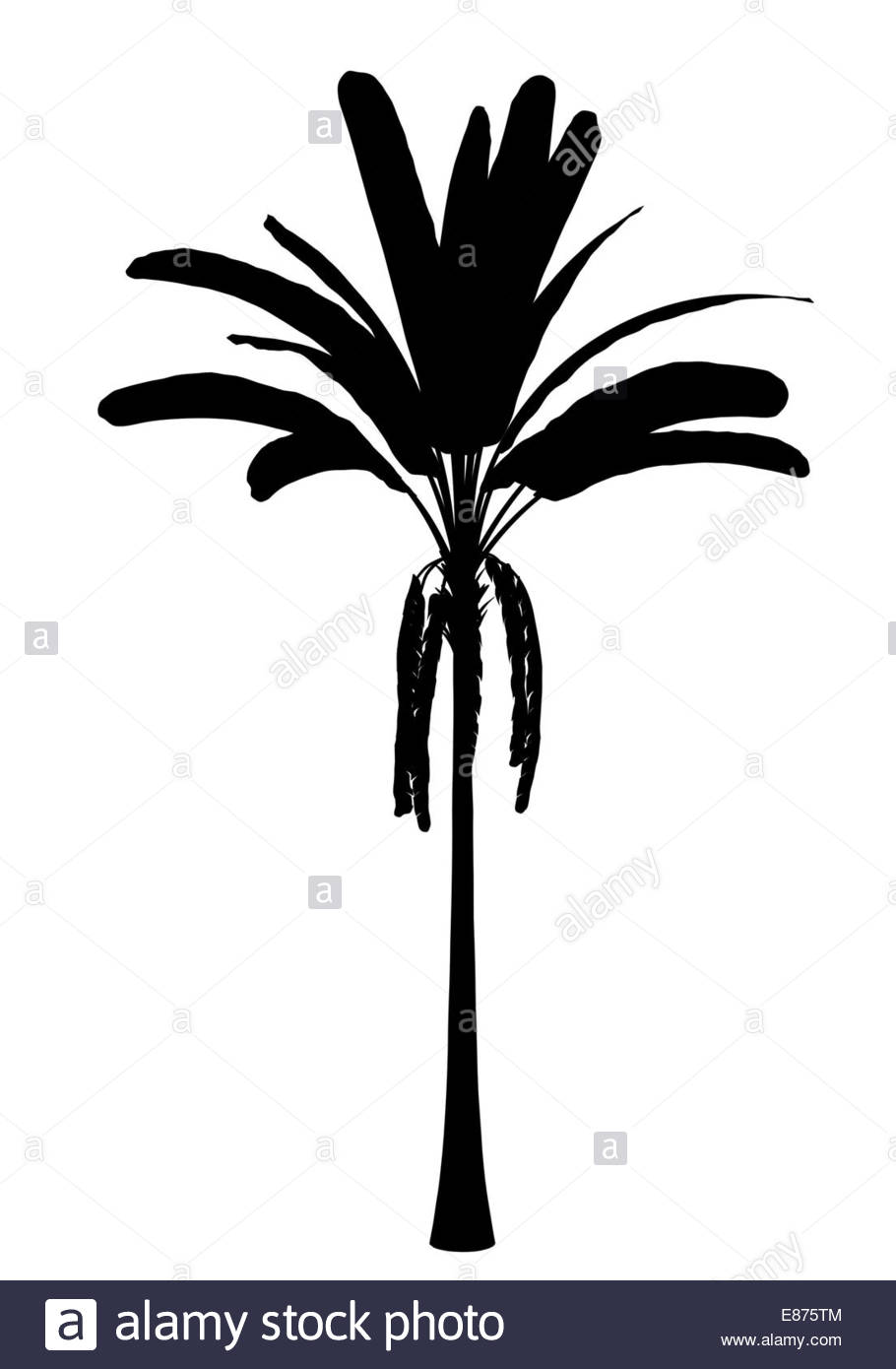 910x1390 Banana Tree Black And White Stock Photos Amp Images