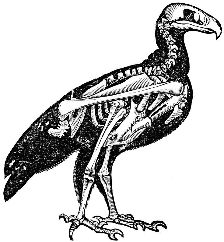 736x795 Bones Clipart Animal Skeleton