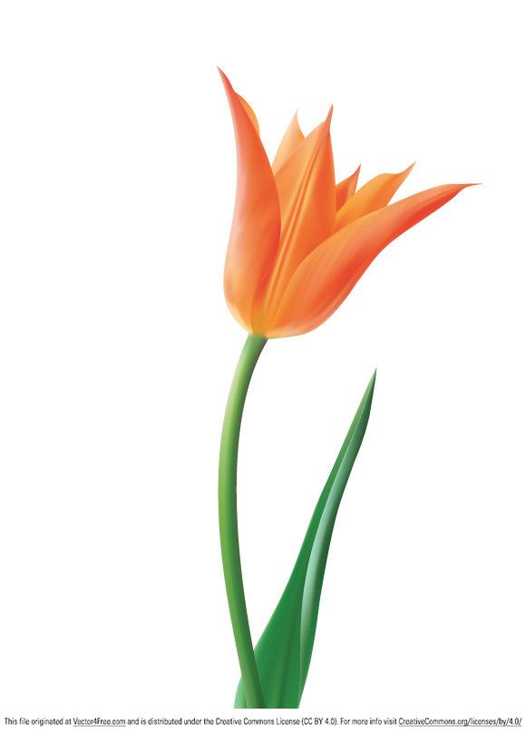 580x809 Free Tulip Vector Flower