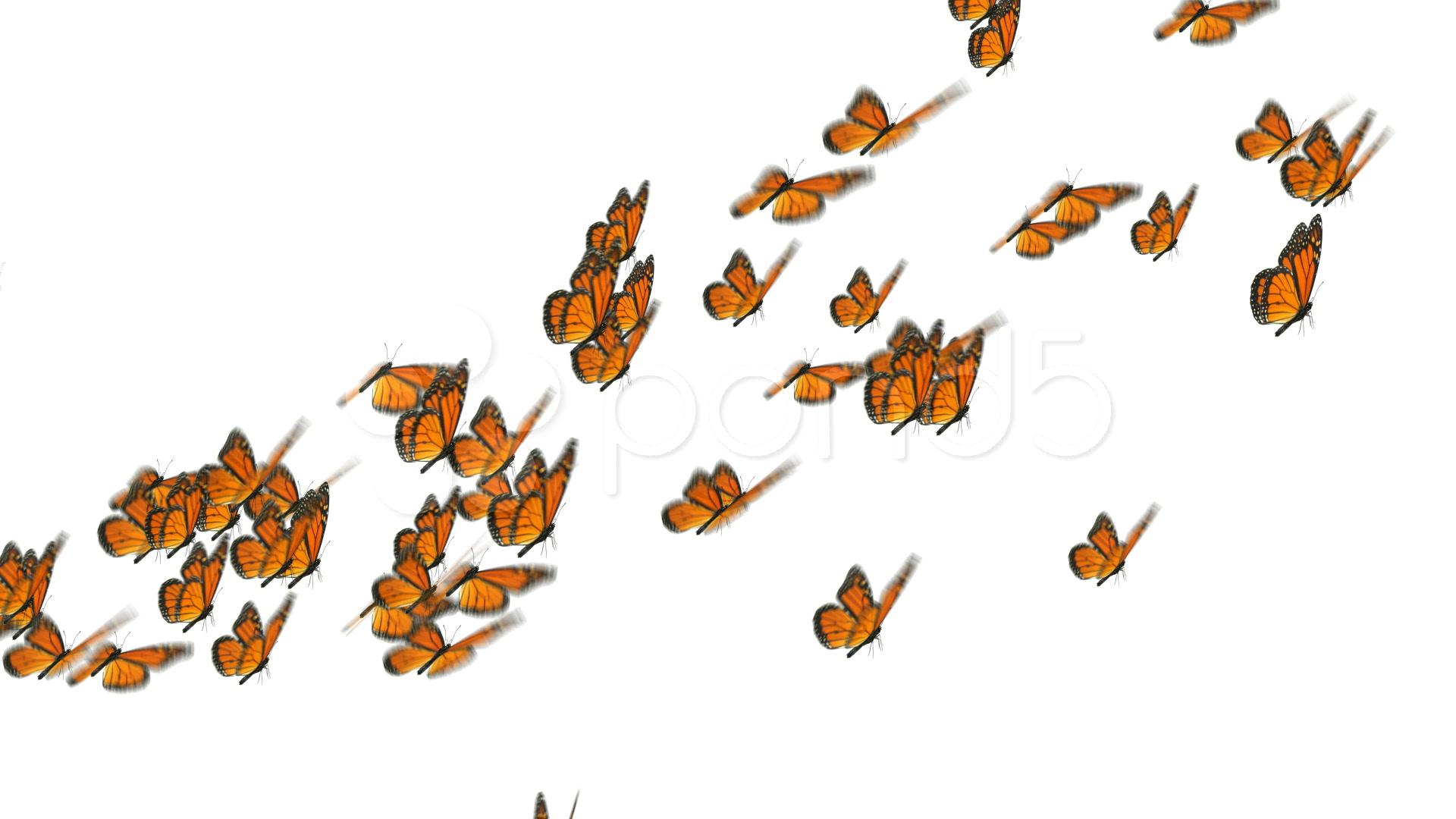 1920x1080 Monarch Butterflies Flock ~ Video Clip