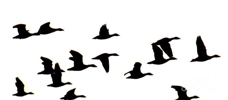 900x397 Canada Goose Cornell. Vector Illustration Of Black Silhouette