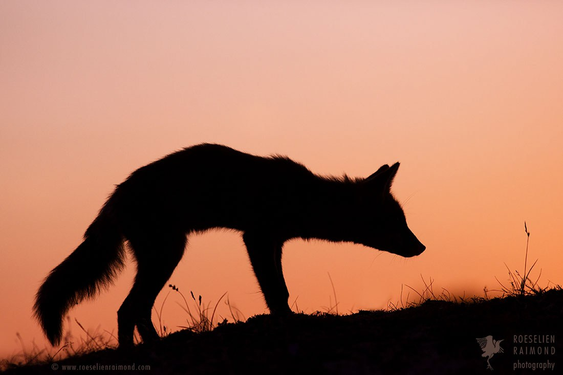 1100x733 Red Fox Silhouette Sunset Roeselien Raimond Nature Photography