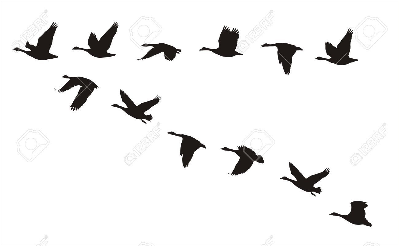 1300x800 Silhouettes Of Flock Of Flying Canadian Geese Royalty Free