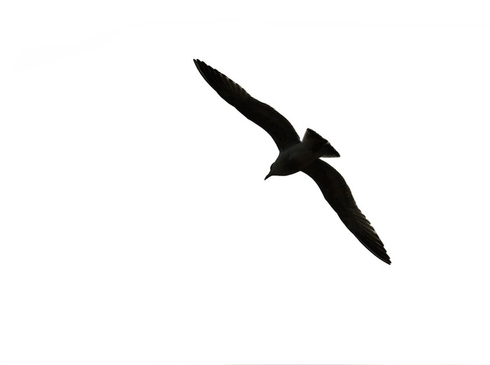 700x522 Flying Bird Silhouette Isolated On White Background Wall Mural