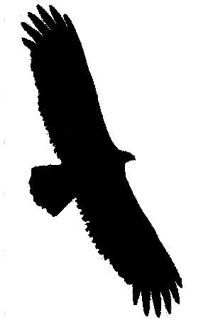 300x450 Turkey Vulture Facts
