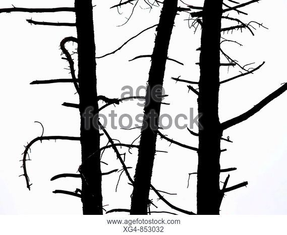 569x467 Pine Tree Pinus Sp, In Cloud Forest Silhouetted With Moss, Stock