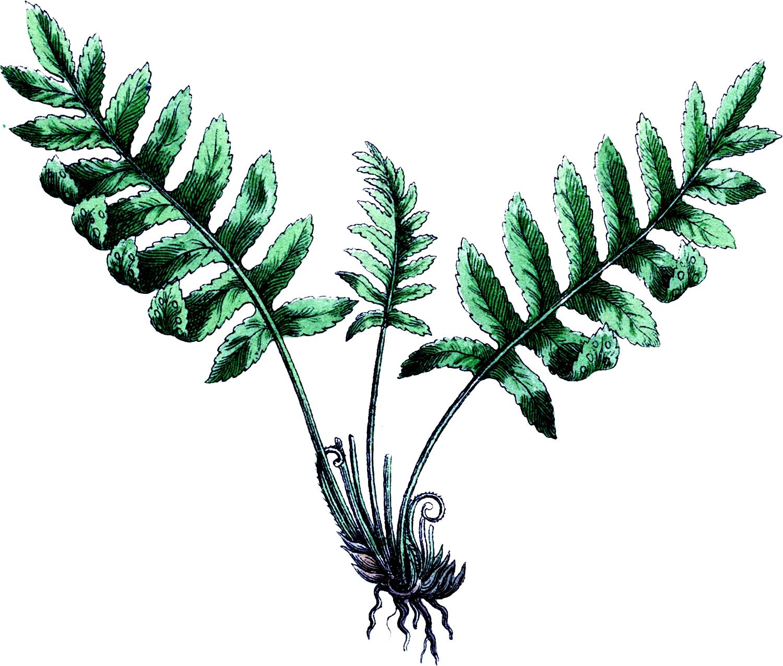 1500x1276 Vintage Botanical Fern Image!