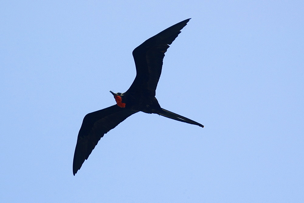 1000x668 High Quality Stock Photos Of Magnificent Frigate Bird
