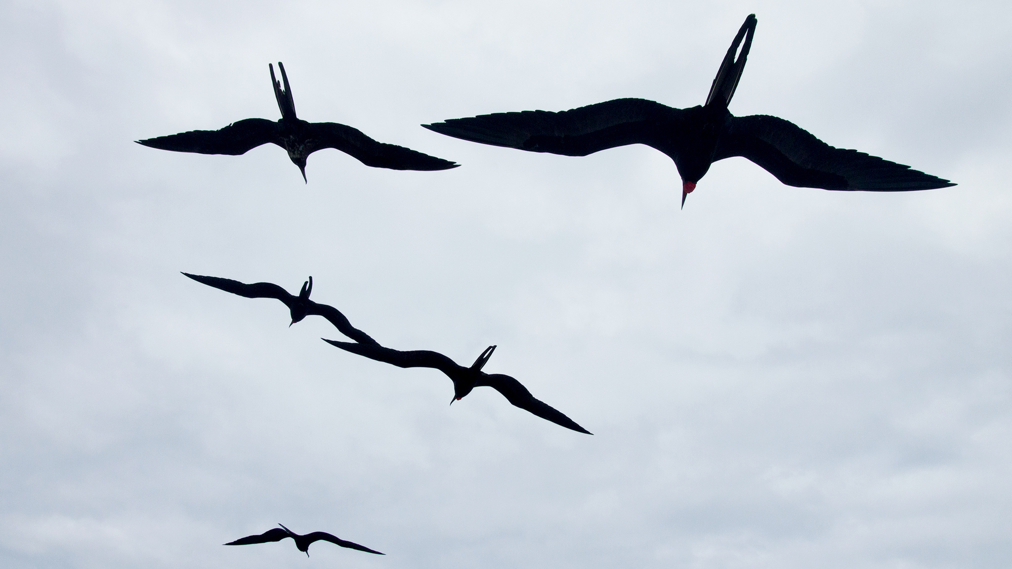 2000x1125 Nonstop Flight How The Frigatebird Can Soar For Weeks Without