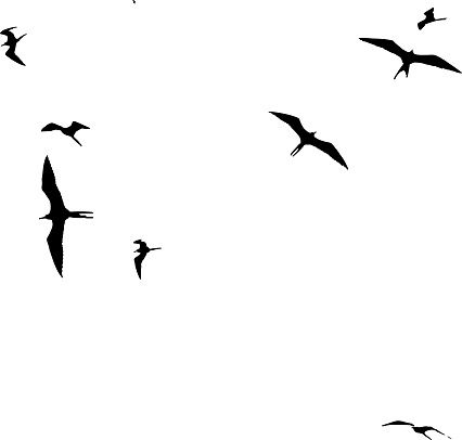 426x406 Small Flock Of Frigate Birds Floating On Air Currents On
