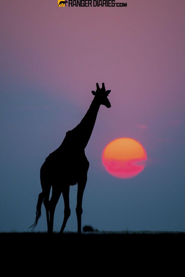 Giraffe Silhouette Sunset