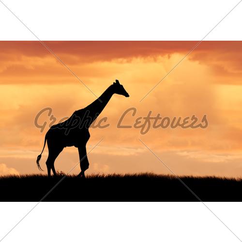 500x500 Giraffe On African Plains Gl Stock Images