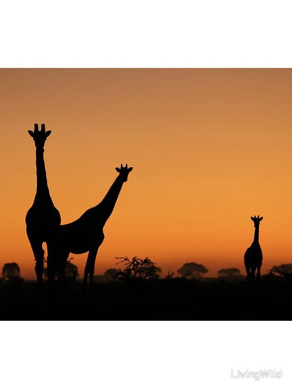 600x800 Giraffe Silhouette