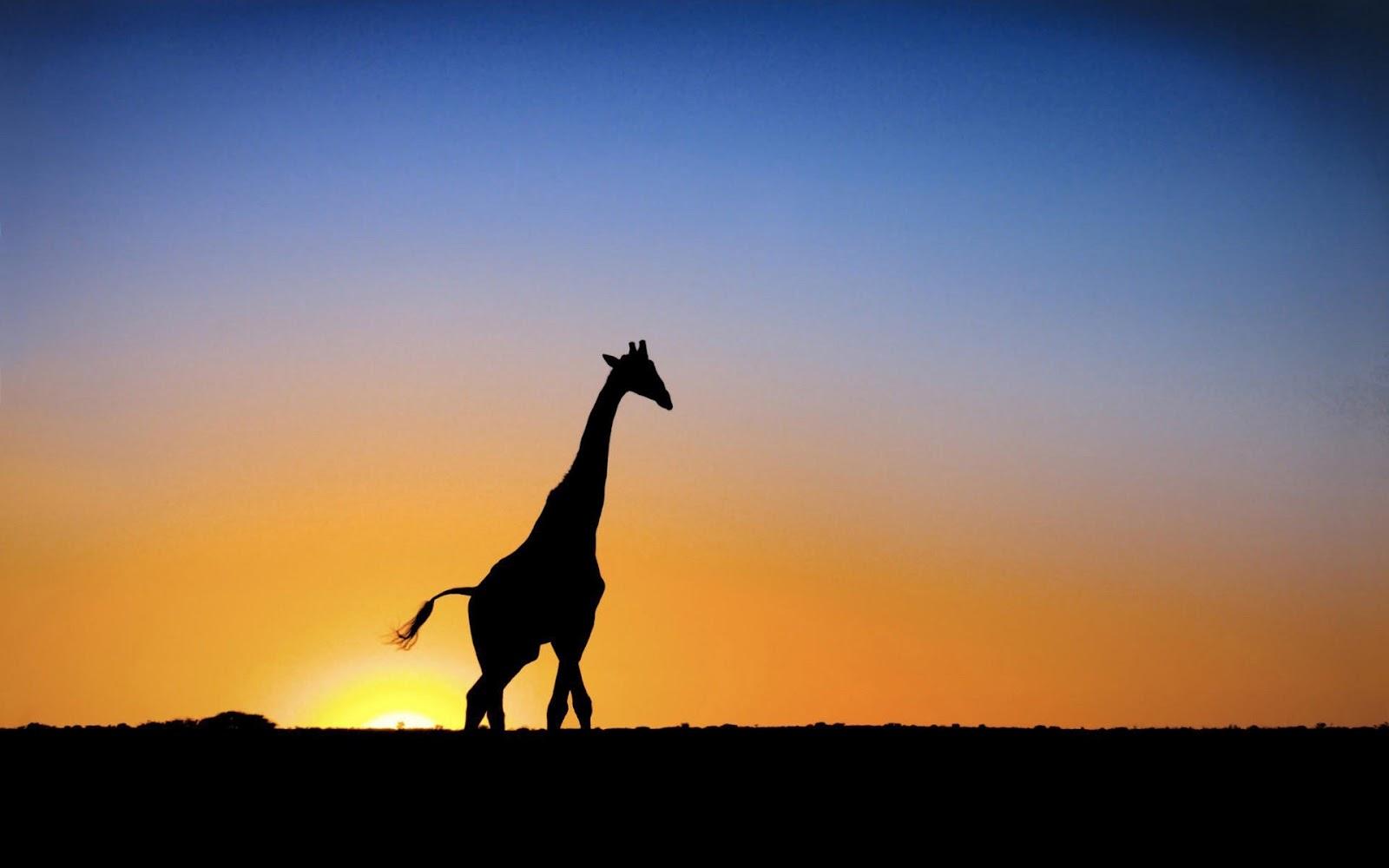 1600x1000 Giraffe Silhouette Wallpaper 50166 1600x1000 Px ~
