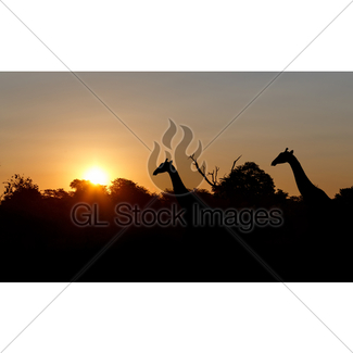 325x325 Landscape With Giraffes, African Sunset Gl Stock Images