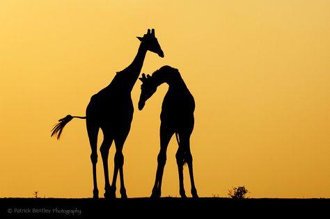 474x315 Pin By Jauyau On Giraffe Giraffe