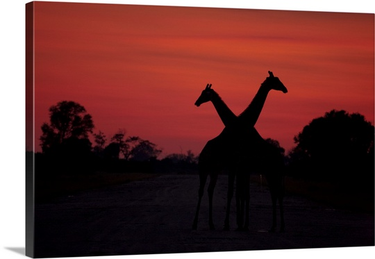 540x373 Silhouette Of Two Giraffes Standing Next To Each Other In