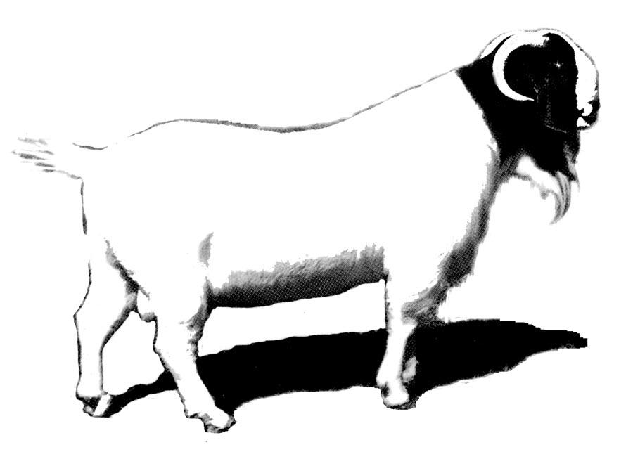 900x653 Drawn Goat Boer Goat