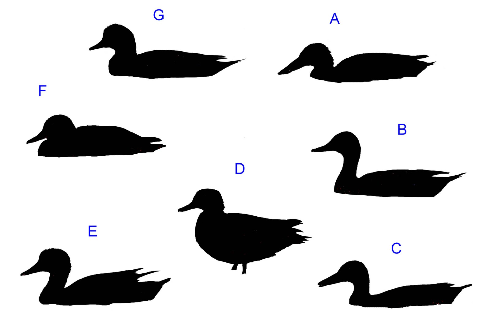 1600x1067 Dabbling Duck Silhouette Quiz Answers